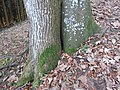 2017-11-24 (140) Two types of trees in a small space.jpg