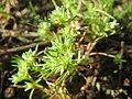 20171014Scleranthus annuus04.jpg