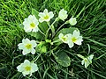 2018-04-20 Primroses, Parish church of Saint Mary the Virgin, Northrepps, Cromer.JPG