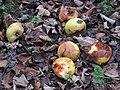 2018-11-24 Fallen apples, Southrepps common.JPG