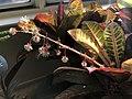 2018-12-17 14 37 19 Male flowers on a Garden Croton grown as a houseplant in the Franklin Farm section of Oak Hill, Fairfax County, Virginia.jpg