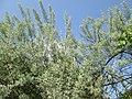 20180504Elaeagnus angustifolia2.jpg