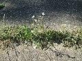 20180627Achillea millefolium.jpg