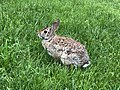 2019-05-12 17 42 27 An Eastern Cottontail Rabbit in a lawn along Tranquility Court in the Franklin Farm section of Oak Hill, Fairfax County, Virginia.jpg