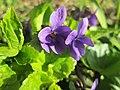 20190320 Viola odorata 1.jpg