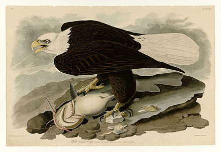 Feeding on catfish and other various fishes. Painted by John James Audubon 31 White-headed Eagle.jpg