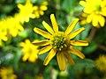 4241 - Thun - Obere Schleuse - Asteraceae.JPG