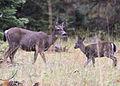 5261 black-tailed doe and fawn swingle odfw (8122823318).jpg