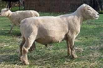 Olde English 'Babydoll' Southdown sheep - Adult Shorn Babydoll Ram
