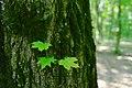 80-361-5006 Golosiiv Forest SAM 0101.jpg