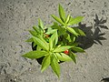 9766Ornamental plants in the Philippines 02.jpg