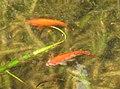 AIMG 2186 Ingolstadt Goldfische.jpg