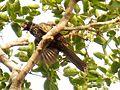 A Developed Cuckoo Chick-3.jpg