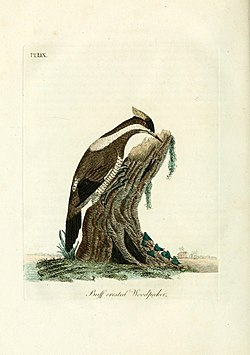 A general history of birds (Pl. LIX) (9065356191).jpg