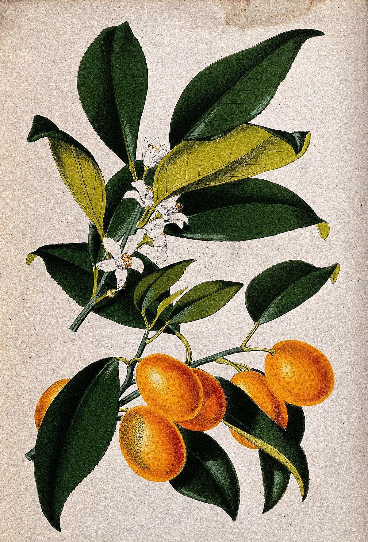 A lemon plant (Citrus japonica); flowering and fruiting stem Wellcome V0044760.jpg