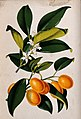 A lemon plant (Citrus japonica); flowering and fruiting stem Wellcome V0044760.jpg