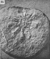 A monograph of the terrestrial Palaeozoic Arachnida of North America photos 41-46 46.png