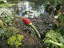 Amorphophallus titanum - Wikipedia