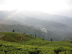 A tea plantation in Darjeeling.jpg