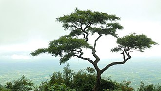 Nelliampathi - Image: A tree at view point