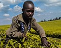 A youngster harvesting tea.jpg