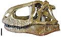 Abelisaurus skull.jpg