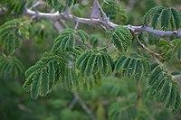 Acacia erubescens00