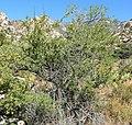 Acacia greggii 3.jpg