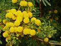 Acacia karroo, blomhofies, Jimmy Aves Park, c.jpg