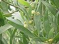 Acacia verticillata0.jpg