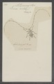 Acanthocinus - Print - Iconographia Zoologica - Special Collections University of Amsterdam - UBAINV0274 034 25 0007.tif