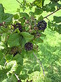 Acanthopanax wardii fruits.JPG