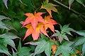 Acer palmatum 'Kagero' JPG1F.jpg