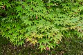 Acer palmatum subsp. amoenum in Hackfalls Arboretum (6).jpg