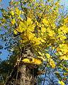 Acer pseudoplatanus (7).JPG