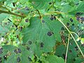 Acer pseudoplatanus Rhytisma acerinum.jpg