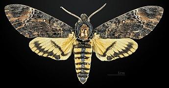Sưu tập Bộ cánh vẩy 2 - Page 11 345px-Acherontia_styx_styx_MHNT_CUT_2010_0_36_Cambodge_male_dorsal