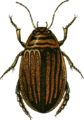 Acilius canaliculatus female Jacobson.png