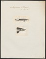 Acipenser sturio - 1700-1880 - Print - Iconographia Zoologica - Special Collections University of Amsterdam - UBA01 IZ14400029.tif