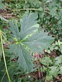 Aconitum variegatum subsp. variegatum sl6.jpg