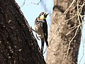 Acorn Woodpeker (San Lucan), San Antonio de la Sierra, Baja California del Sur, Mexico, 1 March 2014 (12920987265).jpg