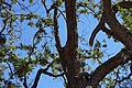 "Acorn woodpecker with ""granary tree"" full of acorns.jpg"