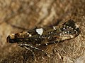 Acrolepiopsis assectella - Leek moth - Моль луковая (39172809410).jpg