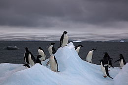 Fifteen penguins standing on rugged ice, a large zone of calm water behind them, hills very far away, dark grey clouds