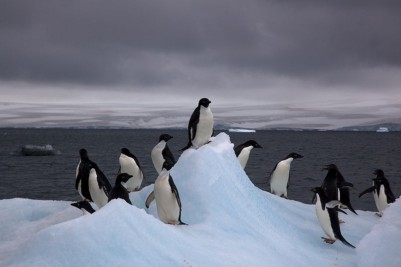 File:Adelie Penguins on iceberg.jpg