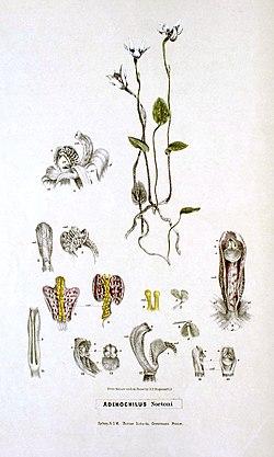 Adenochilus nortonii - FitzGerald, Australian Orchids - vol. 1 pl. 8 (1882).jpg