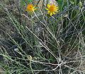 Adenophyllum cooperi 1.jpg