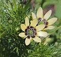 Adonis aestivalis inflorescence (22).jpg