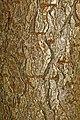 Aesculus glabra 12.jpg
