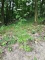 Aethusa cynapium subsp. elata sl18.jpg